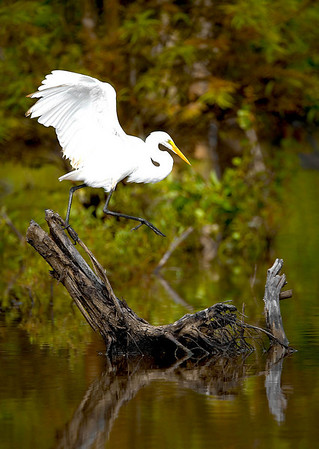 """""""Great Egret Leaving""""<br /> By Wilfred Smith<br /> Nature<br /> Score--12 January 2009"""