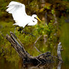 """Great Egret Leaving""<br /> By Wilfred Smith<br /> Nature<br /> Score--12 January 2009"