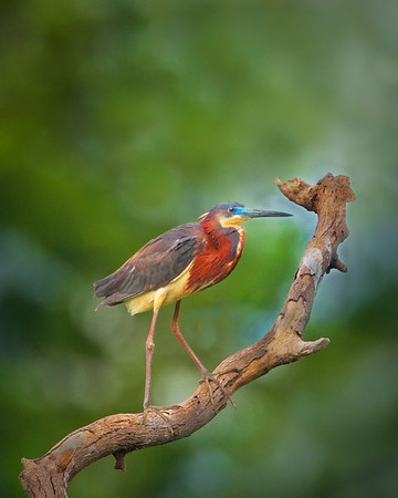 Ttile:  Tri-colored heron on perch<br /> Category:  Nature<br /> Maker:  Wayne Tabor<br /> Score:  12 September 2009