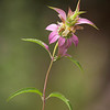 Spotted Horsemint<br /> By Wilfred Smith<br /> Nature<br /> Score 12 August 2009