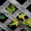 Title: Lattice & Leaves<br /> Category: Open<br /> Maker: Ouida Salter<br /> Score: 12 <br /> edit September 2009