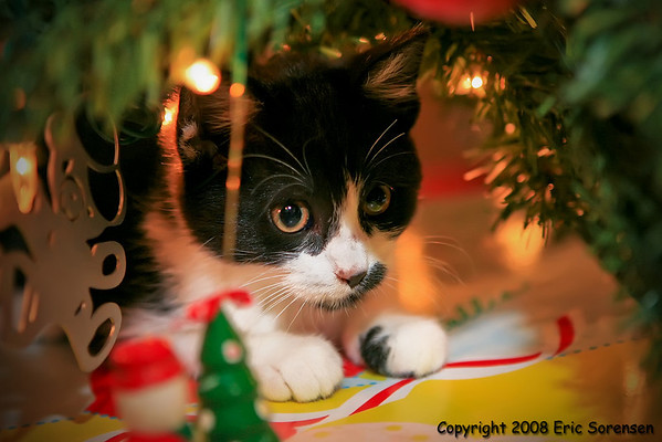 """Christmas Kitty""<br /> By Eric Sorensen<br /> Open Color<br /> Score - 12 January 2009"
