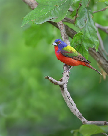 Title:  Painted Bunting male<br /> Maker:  Wayne Tabor<br /> Category:  Nature<br /> Score: 13 June 2009