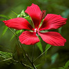 Wild Hibiscus<br /> By Wilfred Smith<br /> Nature<br /> Score  13 August 2009