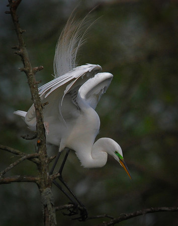 Great Egret<br /> Nature - Score 13<br /> By:  Marilyn Hammett May 2009