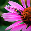 Title:  Bug and Fly on coneflower<br /> Category:  Open<br /> Maker:  Wayne Tabor<br /> Score:  12 September 2009
