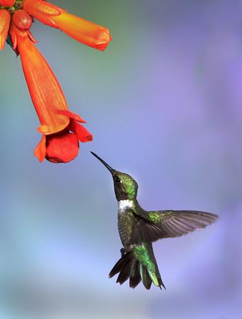 Female hummingbird feeding<br /> by Wayne Tabor<br /> Nature<br /> Score 14 August 2009