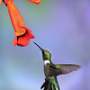 Female hummingbird feeding<br /> by Wayne Tabor<br /> Nature<br /> Score 14 August 2009