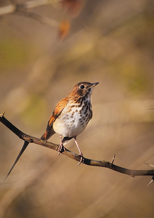 Hermit Thrush by Wayne Tabor<br /> Score: 13 January 2009