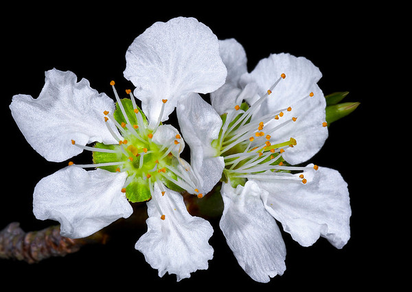 Plumb Blossom<br /> Category:     Nature<br /> Maker:           Wilfred Smith<br /> Score:            12 March 2009
