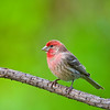 Title:  Male House Finch<br /> Maker:  Wayne Tabor<br /> Category:  Nature<br /> Score:  11 May 2009