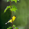 Title:  Goldfinch in Gum Tree<br /> Maker:  Wayne Tabor<br /> Category:  Open Color<br /> Score: 12 May 2009