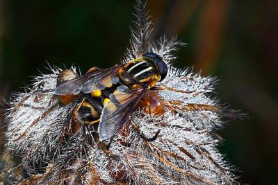 Wild Bee on Dewy Seed Pod by Wayne Tabor  Score: 13 January 2009