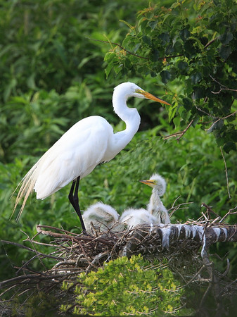 Egret family<br /> by Wayne Tabor<br /> Nature<br /> Score 14 August 2009