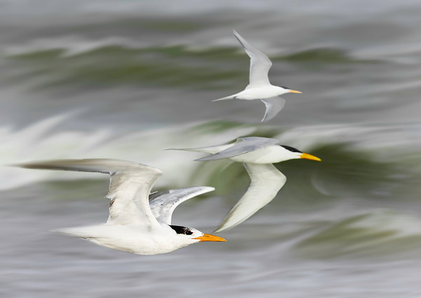 Three Terns flying<br /> Maker: Wilfred Smith<br /> Catagory: Large Color<br /> Score: 13 July 2009