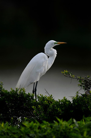 High Island Egret - Nature<br /> Score 12<br /> Dwayne Anders May 2009