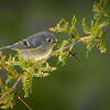 Ruby Crown Kinglet<br /> Category:    Large Color<br /> Maker:         Wilfred Smith<br /> Score:          13 March 2009