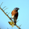 Title:  Male eastern bluebird<br /> Maker:  Wayne Tabor<br /> Category:  Nature<br /> Score:  12 April 2009