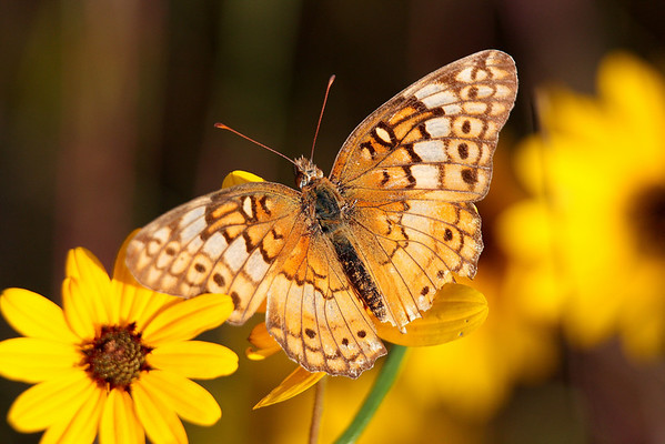 """""""Painted Lady""""<br /> by Wayne Tabor<br /> Nature<br /> Score: 12 February 2009"""