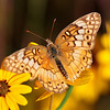 """Painted Lady""<br /> by Wayne Tabor<br /> Nature<br /> Score: 12 February 2009"