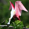 Title:  Roseate Spoonbill Displaying<br /> Maker:  Wayne Tabor<br /> Category:  Nature<br /> Score:  13 April 2009