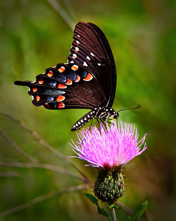 Title:  Black swallowtail on thistle<br /> Category:  Nature<br /> Maker:  Wayne Tabor<br /> Score:  13 September 2009