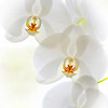 Title:   White Orchid<br /> Maker:   Wilfred Smith<br /> Catagory:   Large Color<br /> Score:    12 April 2009
