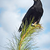 Crow<br /> Category:     Nature<br /> Maker:          Wilfred Smith<br /> Score:           13 March 2009