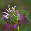 Purple crowned wildflower<br /> by Wayne Tabor<br /> Nature<br /> Score 11 August 2009