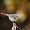 White-eyed Vireo by Wayne Tabor<br /> Score: 13 January 2009