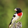 Title:  Rose-breasted Grosbeak<br /> Category:  Nature<br /> Maker:  Wayne Tabor<br /> Score:  12 September 2009