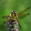 Dragonfly on purple wildflower<br /> by Wayne Tabor<br /> Nature<br /> Score 13 August 2009