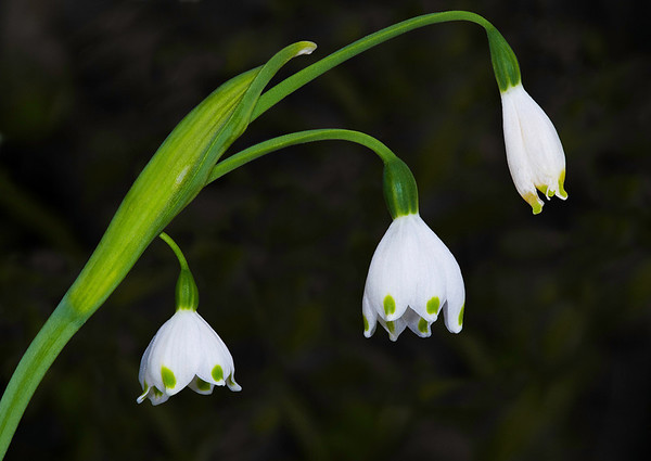 Little Bells<br /> Category:    Large Color<br /> Maker:         Wilfred Smith<br /> Score:          11 March 2009