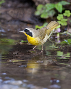 Common yellowthroat in pool by Wayne Tabor Nature Score 12