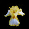 """Yellow-Bearded Iris""<br /> by Pat Powell<br /> Category:  Open Color<br /> Score:  11"