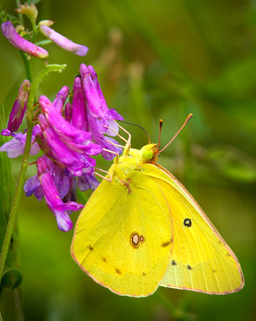 Cloudless Sulpher Butterfly<br /> by Wayne Tabor<br /> Nature<br /> Score 11