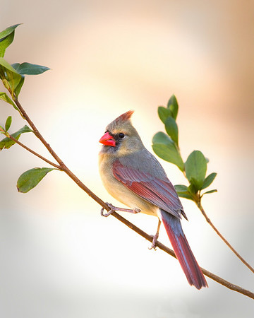 Ms. Cardinal<br /> by Wayne Tabor<br /> Open Color<br /> Score:  15