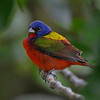 Painted Bunting - Nature<br /> Score 14<br /> Dwayne Anders