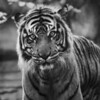Tiger<br /> Maker:  Ouida Salter<br /> Category: Small B & W<br /> Score 11
