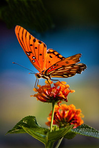 Butterfly backlit Maker:  Wayne Tabor Category: Open color Score:  11
