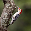 Red Bellied Woodpecker<br /> by Wayne Tabor<br /> Nature<br /> Score:  15