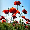 Poppy - Large Color<br /> Score 11<br /> Dwayne Anders