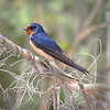 Barn Swallow on Reed<br /> by Wayne Tabor<br /> Nature<br /> Score:  14