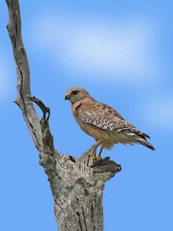 Brazos - Hawk  - Large Color<br /> Score 15<br /> Dwayne Anders