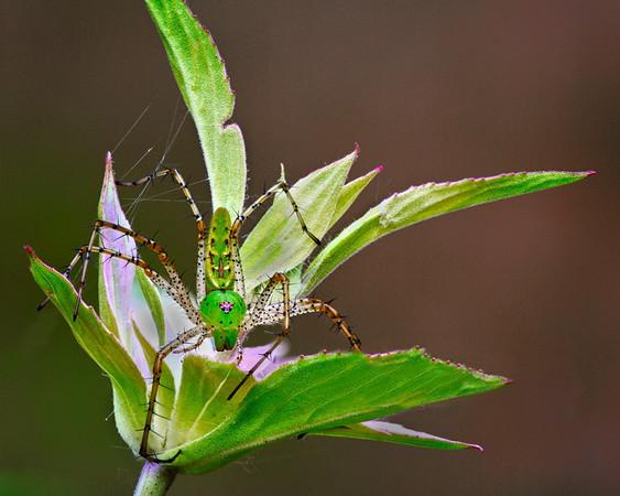 Green spider defending flower<br /> Maker:  Wayne Tabor<br /> Category:  Nature<br /> Score:  12