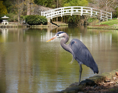 """Duke Blue Heron"" By Don Angle Open Color Score: 11"