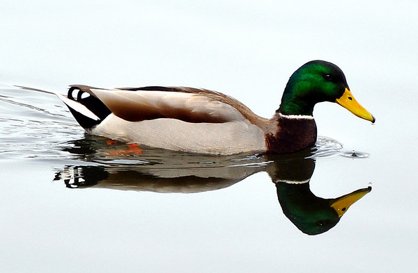 """""""Notre Dame Duck""""<br /> By Don Angle<br /> Nature<br /> Score: 12"""