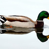 """Notre Dame Duck""<br /> By Don Angle<br /> Nature<br /> Score: 12"