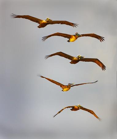 Pelicans five high<br /> Maker:  Wayne Tabor<br /> Category:  Nature<br /> Score: 12