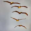 Pelicans five high<br /> Maker:  Wayne Tabor<br /> Category:  Nature<br /> Score: 12
